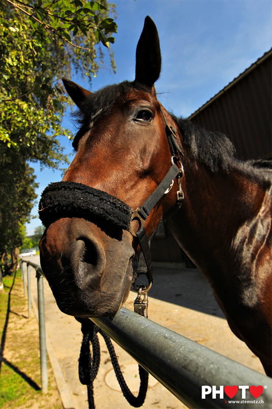 horse portrait of  u201ccirce du roset u201d   corminboeuf
