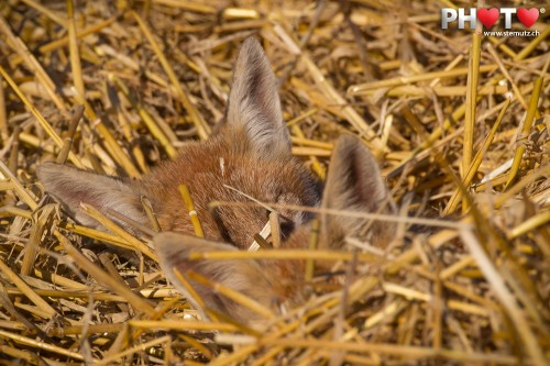Two young foxes sleeping in the grainfield @ Givisiez, 17.07.2012