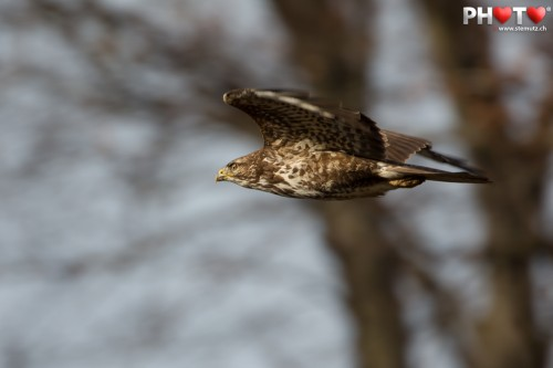 Buzzard flying out of the forest ... shot with 700 mm tele-objective!