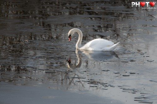 Swan in the cold water ... shot with 700 mm tele-objective!