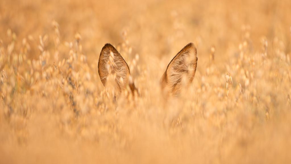 Deer Series ... chevrette dans le champs par STEMUTZ