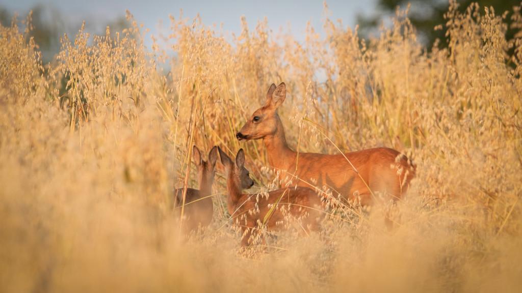 Deer Series ... chevrette avec petits dans le champs © STEMUTZ.COM