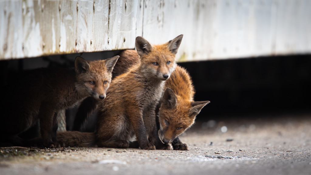 Fox Gang ... Urban Foxes, Spring 2019 © STEMUTZ.COM