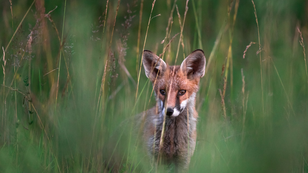 Fox watching you, Summer 2019 © STEMUTZ.COM