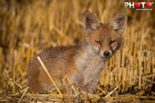 Cute young fox at less than 10 metres in the grainfield ...