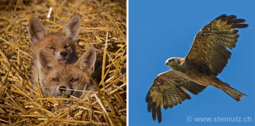 Black kite (milan noir) watching young foxes in the grainfield near Givisiez ...