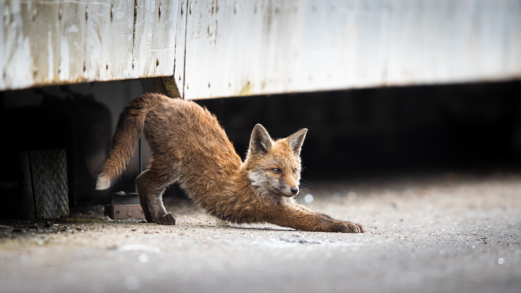 Fox Yoga ... Urban Foxes, Spring 2019 © STEMUTZ.COM