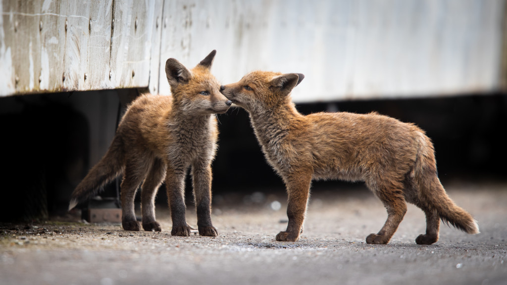 Fox Kiss ... Urban Foxes, Spring 2019 © STEMUTZ.COM
