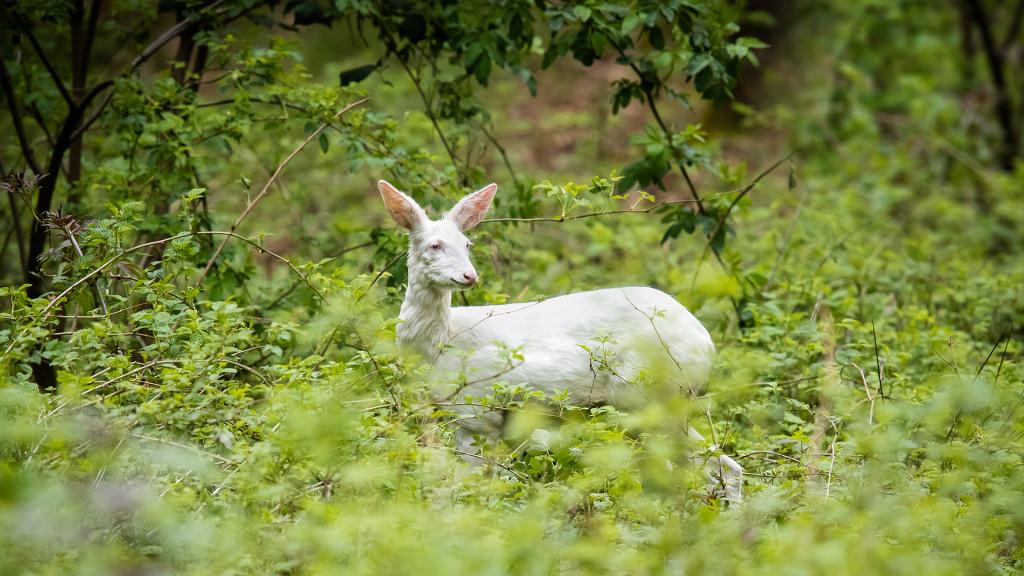 Deer Series ... lil' albino deer © STEMUTZ.COM