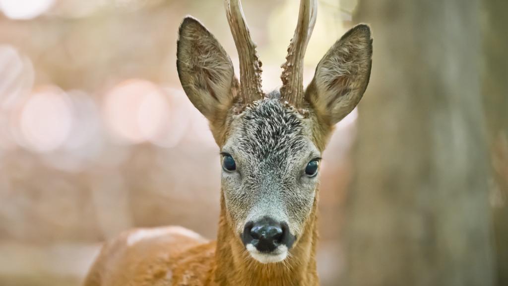 Rehbock auf 10m - Brocard à 10m ... Deer Series by STEMUTZ