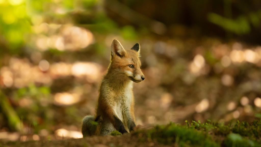 stemutz_web_portfolio_slider_1920x1080_fox_puppy_renardeau