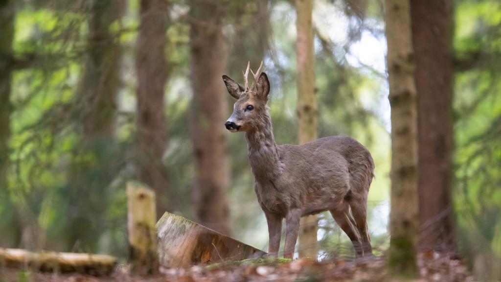 Deer Series ... Rehbock - brocard © STEMUTZ.COM